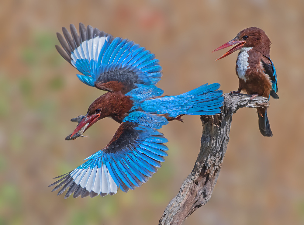 A piece of fine art art photography titled White-throated Kingfisher by yaki zander