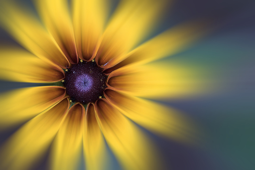 A piece of fine art art photography titled The Summer of Rudbeckia-3 by Yong Ki Park