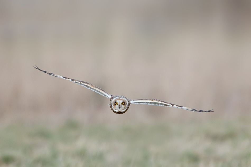 Eyes of the Short-eared Owl