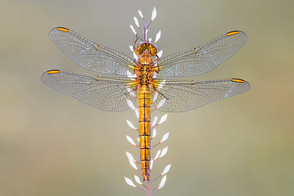 A piece of fine art art photography titled Dragonfly by Petar Sabol