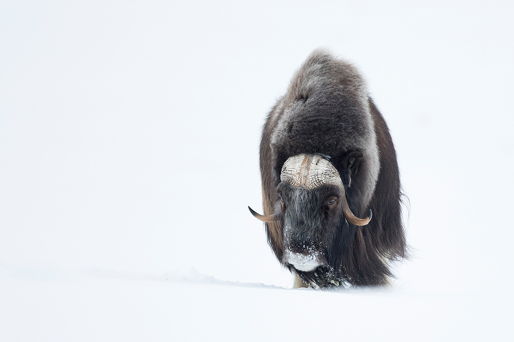 A piece of fine art art photography titled Musk Ox by ennedi