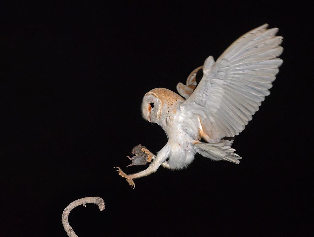 A piece of fine art art photography titled Barn Owl With Vole by yaki zander