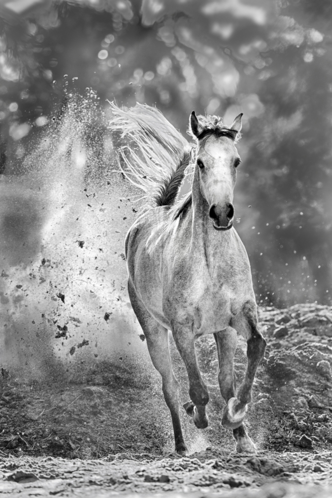 A piece of fine art art photography titled Arabian Mare In Action by Husain Alfraid