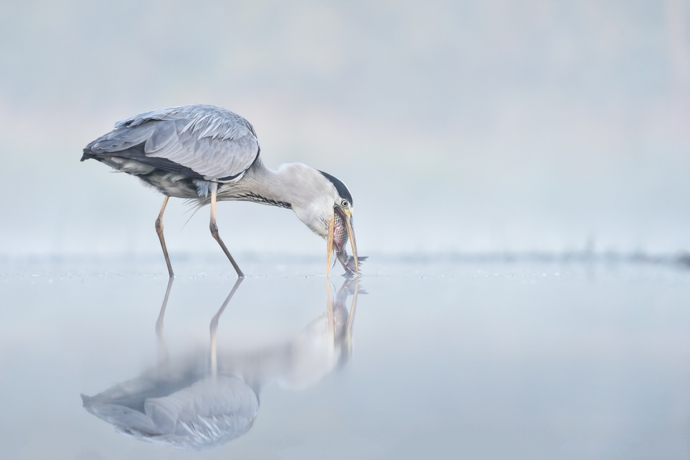 A piece of fine art art photography titled Misty Morning's Gulp by Max Zimmer