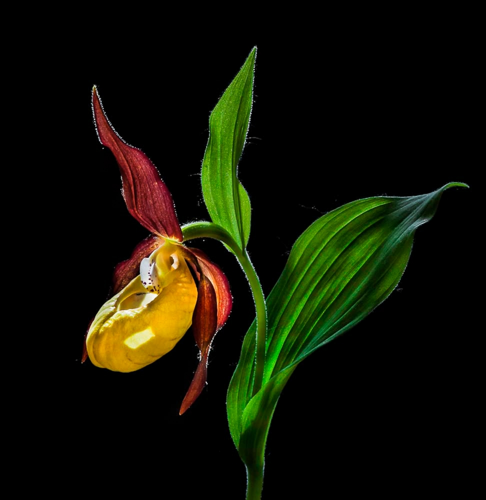 Macro Close-Up Photograph of The Lady's Slipper Orchid  ('Venus' Shoes') Flower In the Wild © N