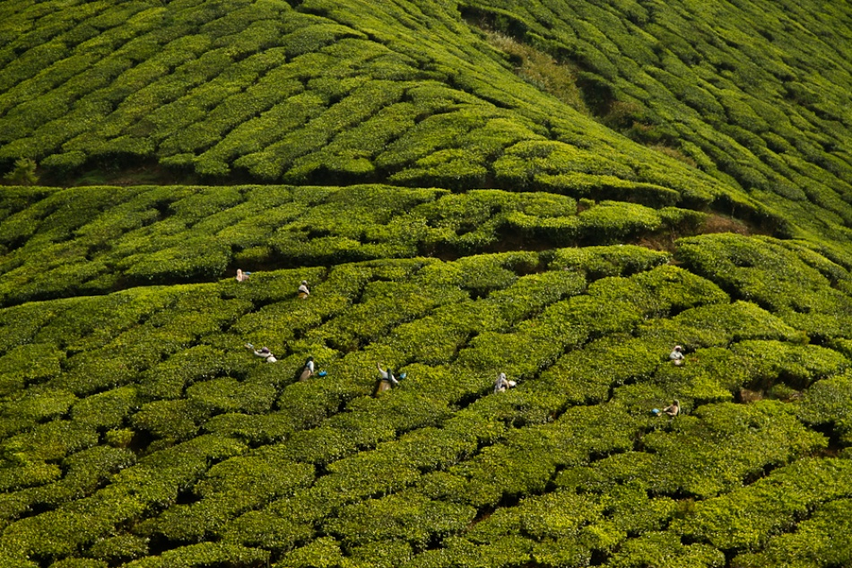 A piece of fine art art photography titled Tea Harvest by Jonathan Leake
