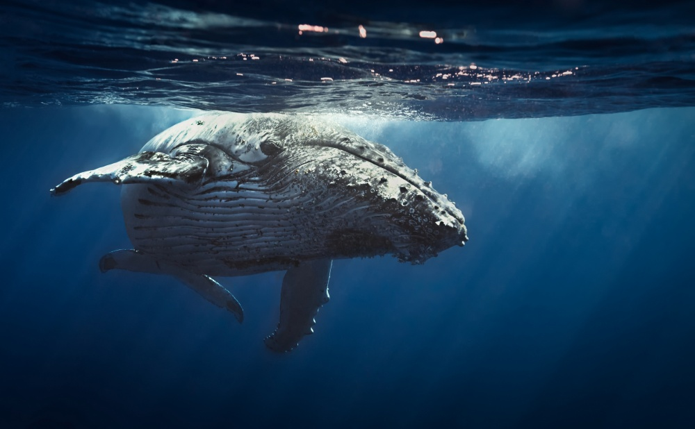 A piece of fine art art photography titled Humpback Whales - Réunion Island 2014 by Seb