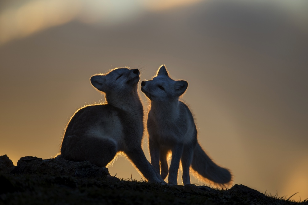 A piece of fine art art photography titled Arctic Fox by Arne K Mala