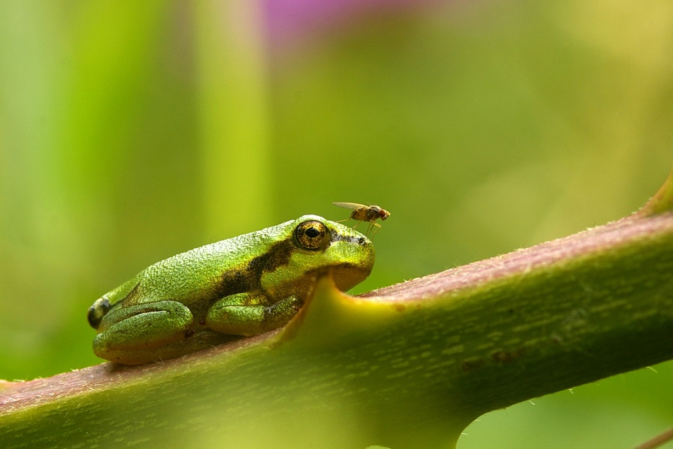 A piece of fine art art photography titled Hyla Arborea by Guido Franssens