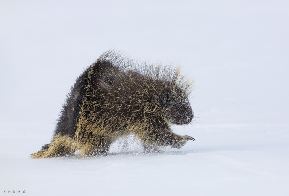 Porcupine in a winter Storm