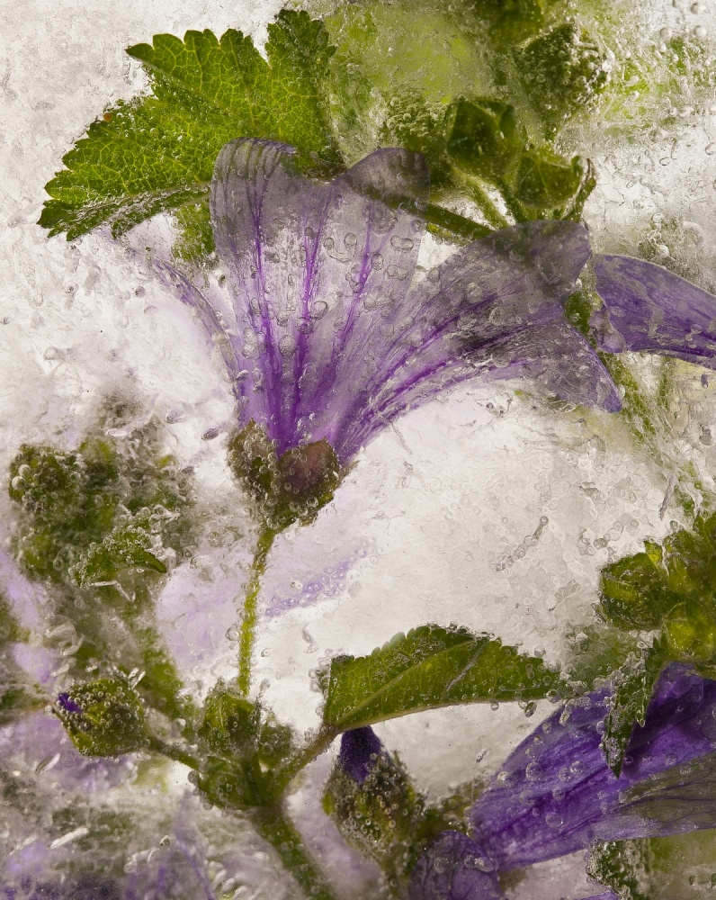 A piece of fine art art photography titled Frozen Mallow Flower by Secundino Losada