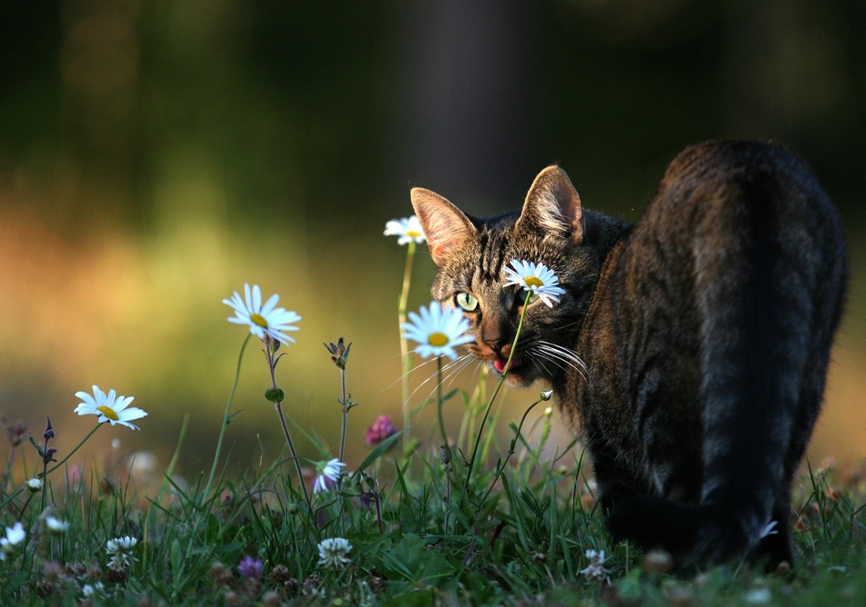 A piece of fine art art photography titled The Cat and the Daisies by David Nilsson