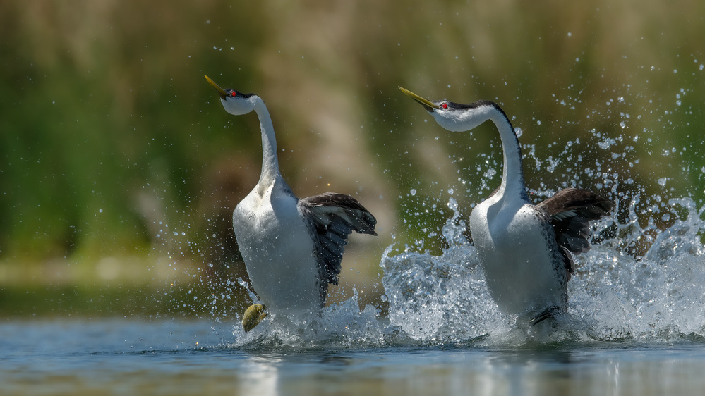 View this piece of fine art photography titled Westen Grebes by Alessandro Rossini