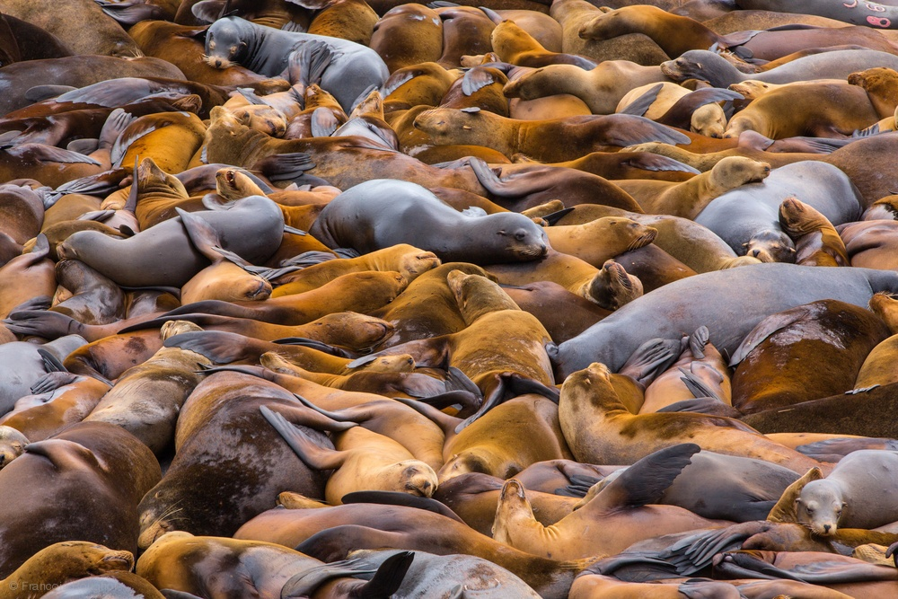 Sea of lions