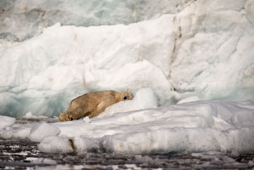A piece of fine art art photography titled The Snoozing King of the Ice by Adit Merkine