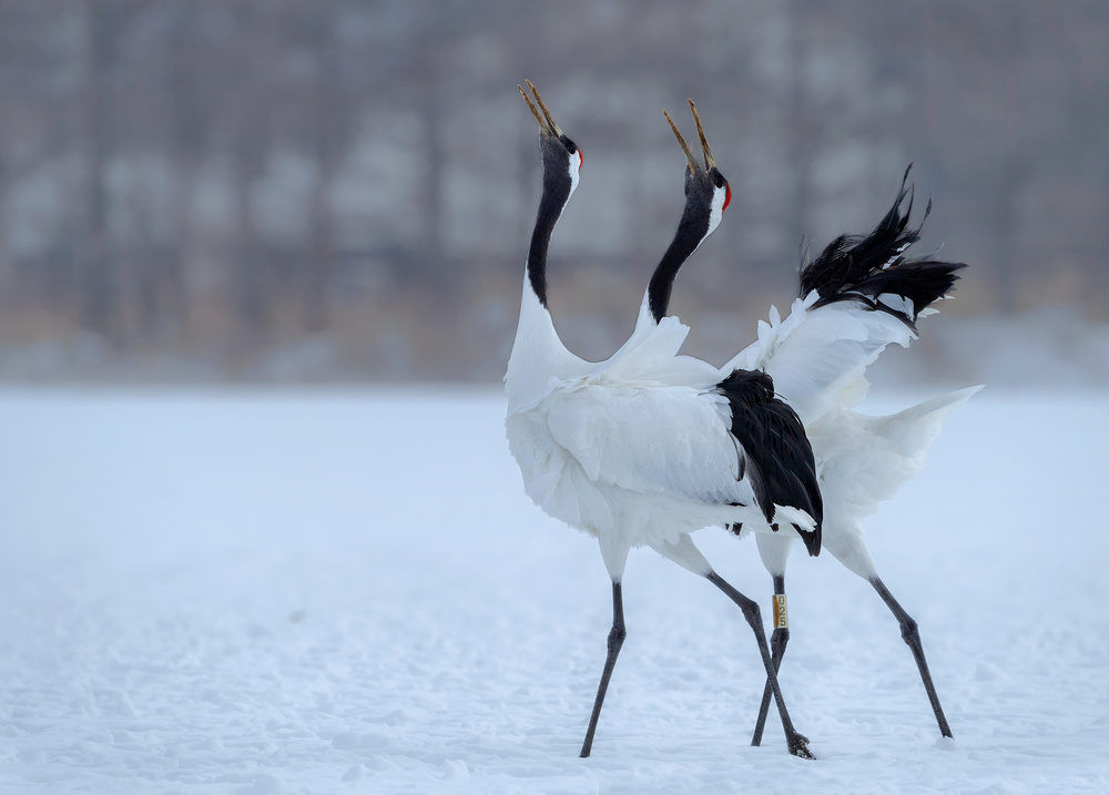 View this piece of fine art photography titled Red -crowned Crane singing  together by Jie  Fischer