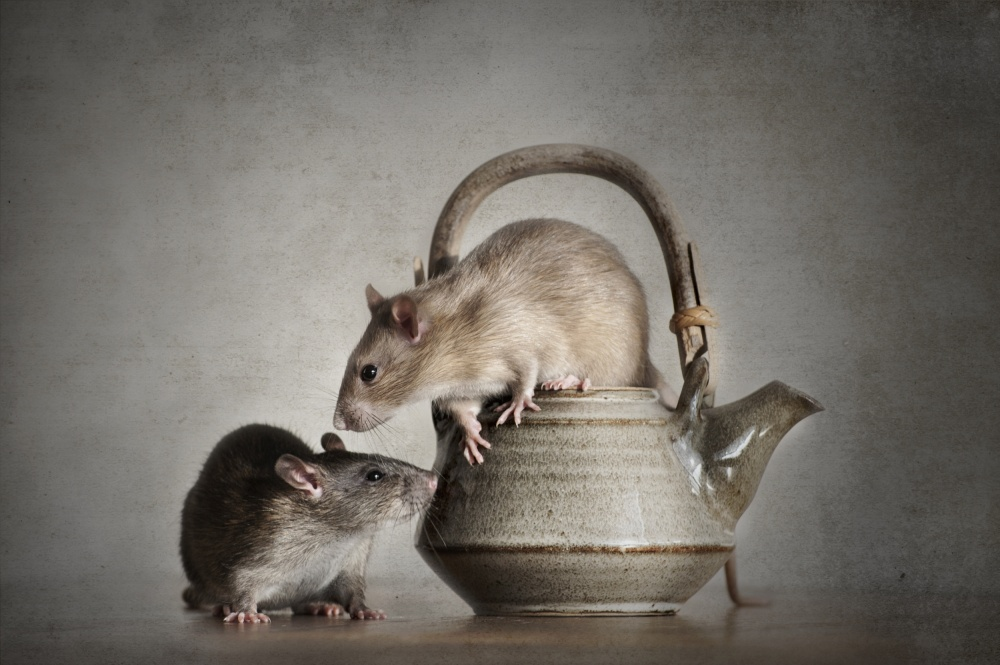A piece of fine art art photography titled Rats by Ilse Noordhof