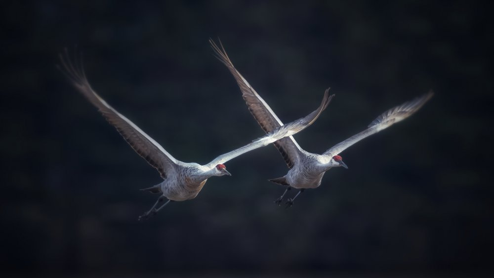 View this piece of fine art photography titled sandhill crane migration by Donald Luo