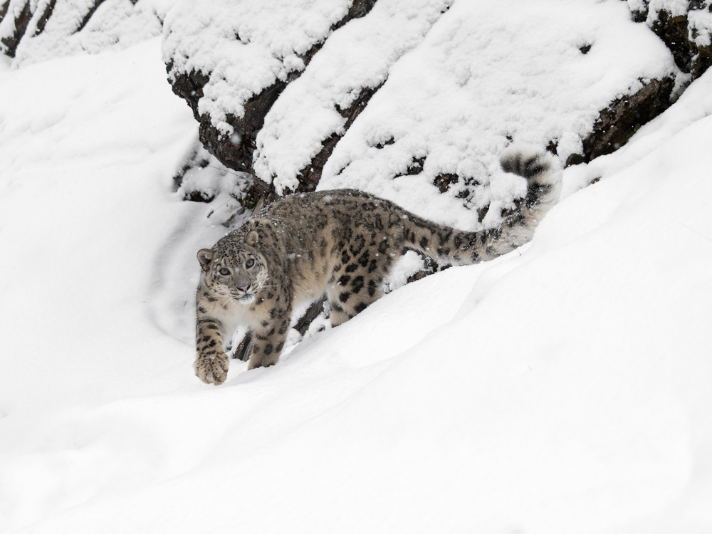 A piece of fine art art photography titled Snow Leopard by Dennis Binda