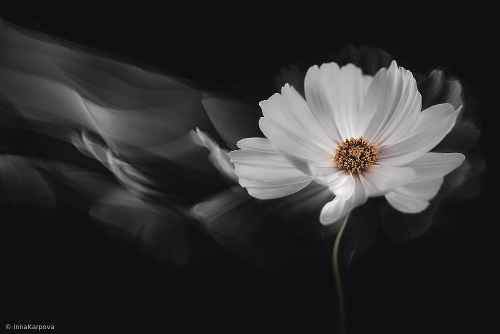 Symphony White