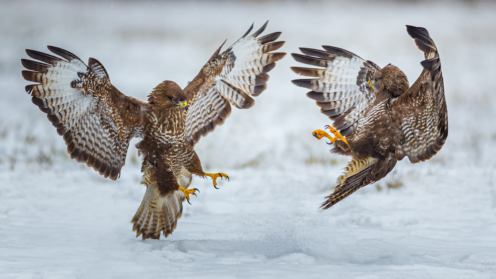 Common Bussard Fight