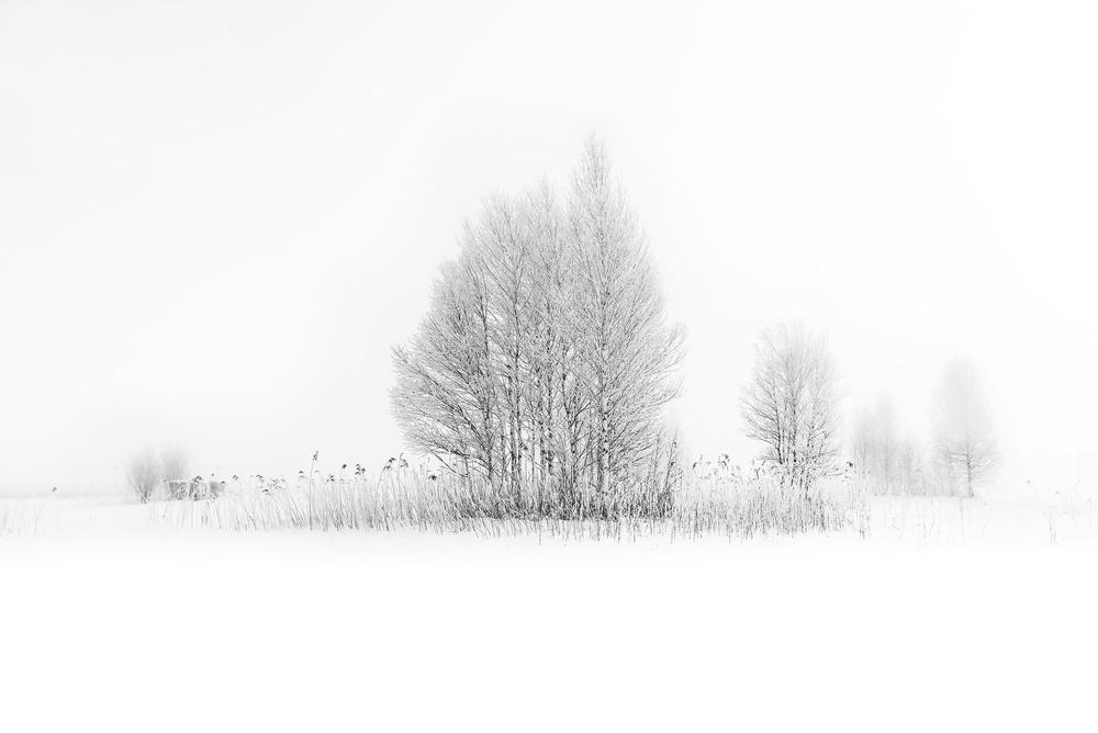 winter birches...