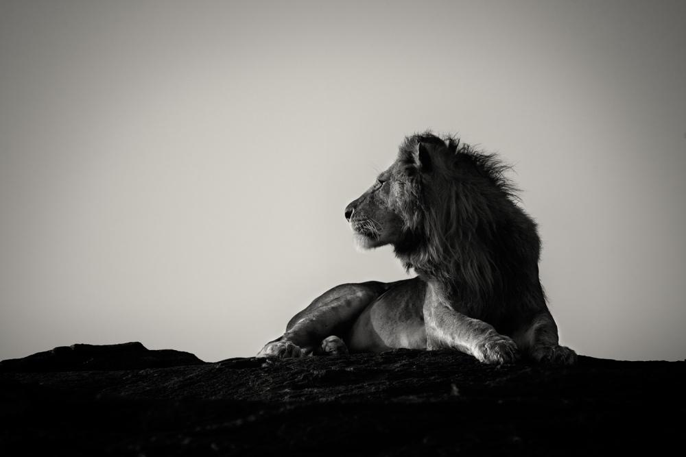 A piece of fine art art photography titled Lion On a Rock, Masai Mara by Pekka Järventaus