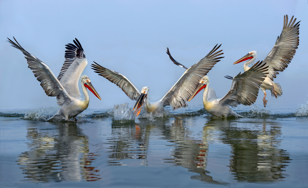 A piece of fine art art photography titled Dalmatian Pelicans Fishing by Xavier Ortega