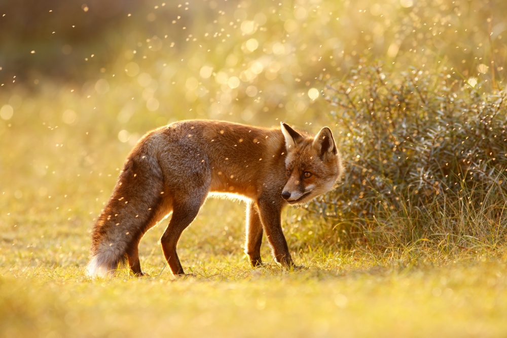 A piece of fine art art photography titled  the Fox and the Fairy Dust by Roeselien Raimond