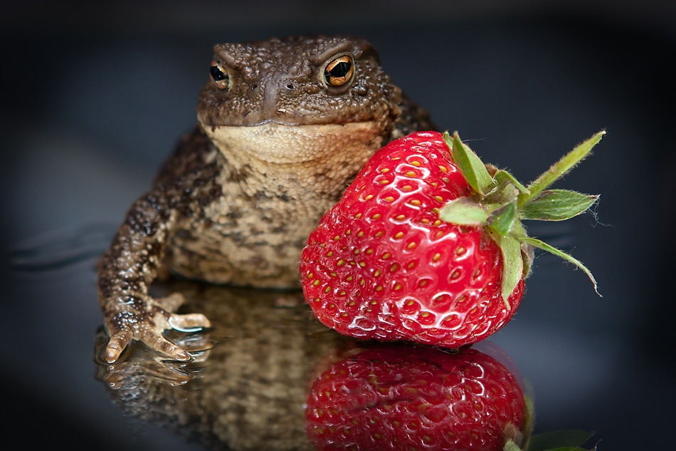A piece of fine art art photography titled Frog and Strawberry by Oleksandr Voloshyn