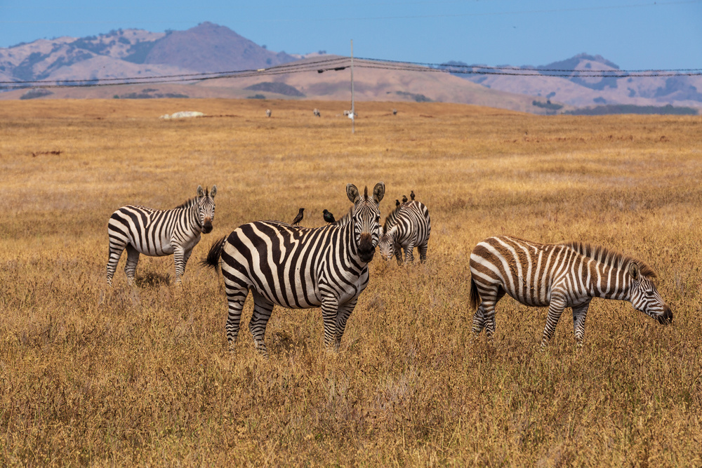 A piece of fine art art photography titled Zebra California by Francois Roughol