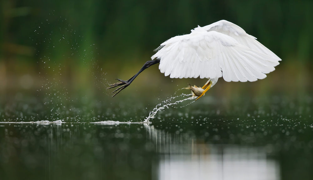 A piece of fine art art photography titled Great Egret Just at the Right Second by Christopher Schlaf