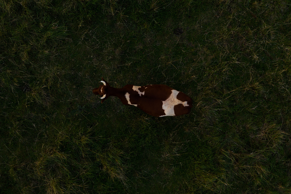 Cow from above