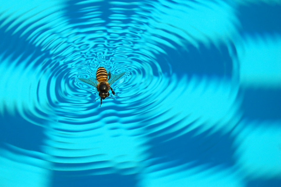 swimming bee