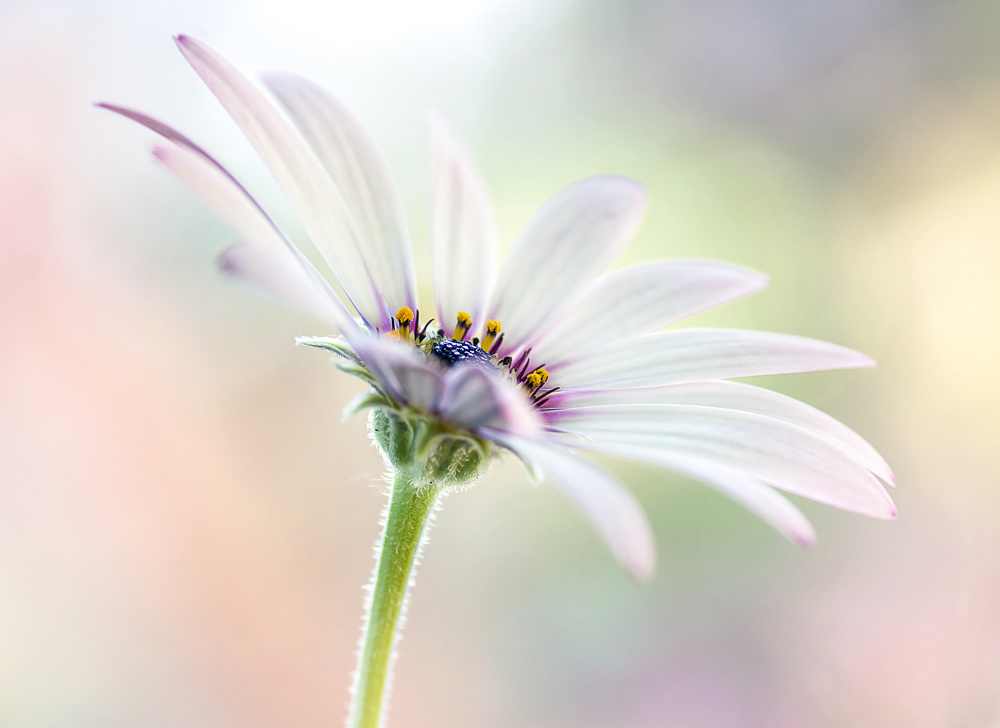View this piece of fine art photography titled Cape Daisy by Mandy Disher