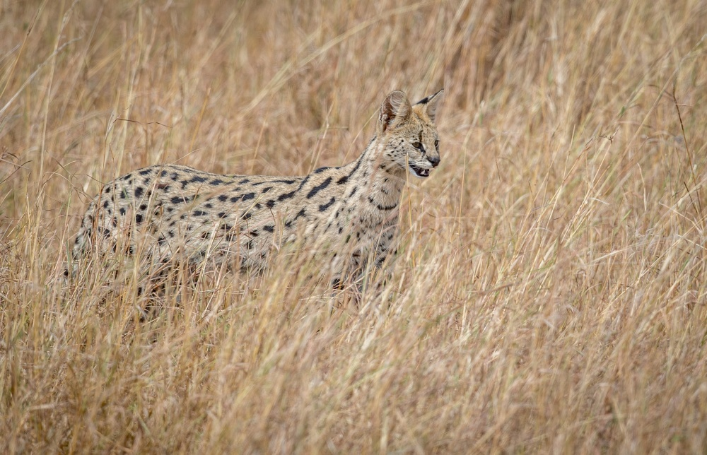 A piece of fine art art photography titled Serval Cat In the Tall Red Oat Grass by Jeffrey C. Sink