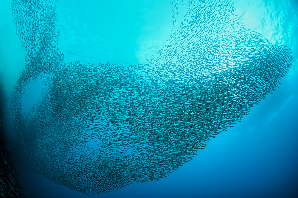 School of Sardines at Moalboal