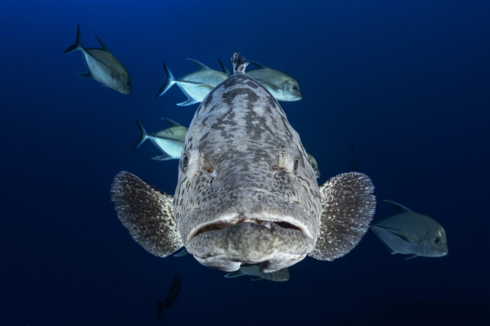 Face to face with a potato grouper