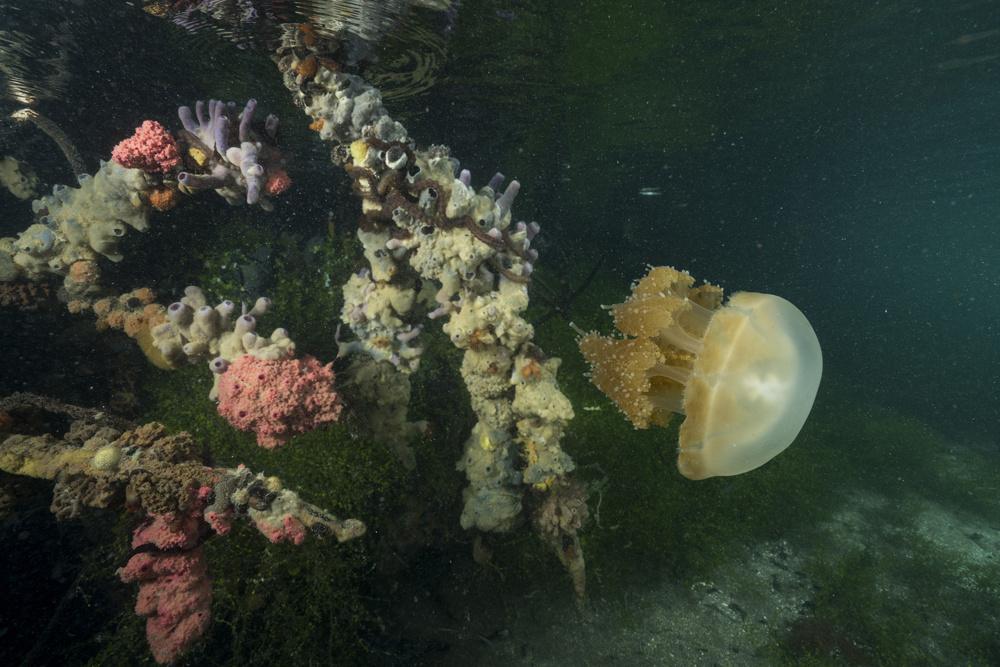Stingless jellyfish of Kakaban Island, Indonesia