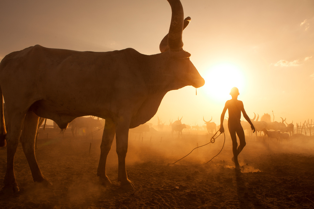 View this piece of fine art photography titled Saving The Cows by Andrea Trimboli