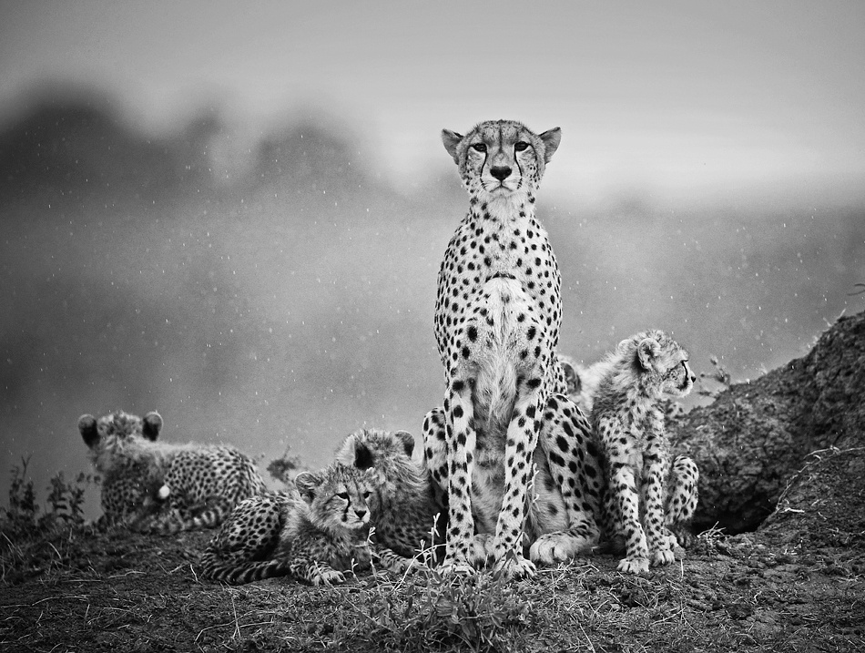 A piece of fine art art photography titled Cheetahs In the Rain by Stephen Earle