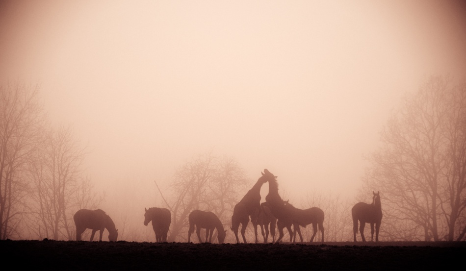 A piece of fine art art photography titled Foggy Horses by Robert Nilsson