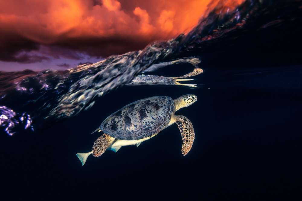 A piece of fine art art photography titled Green Turtle and Sunset - Sea Turtle by Barathieu Gabriel