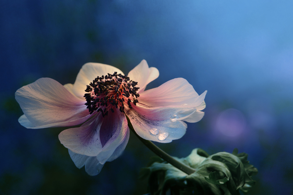 View this piece of fine art photography titled Blue velvet by Jimmy Hoffman
