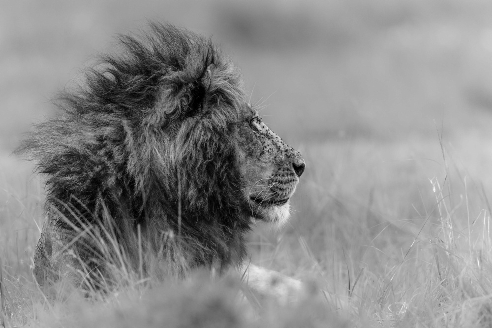 A piece of fine art art photography titled The King Is Alone by Massimo Mei