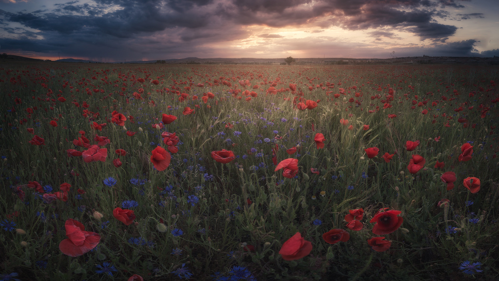 A piece of fine art art photography titled Poppies by Alvaro Sánchez