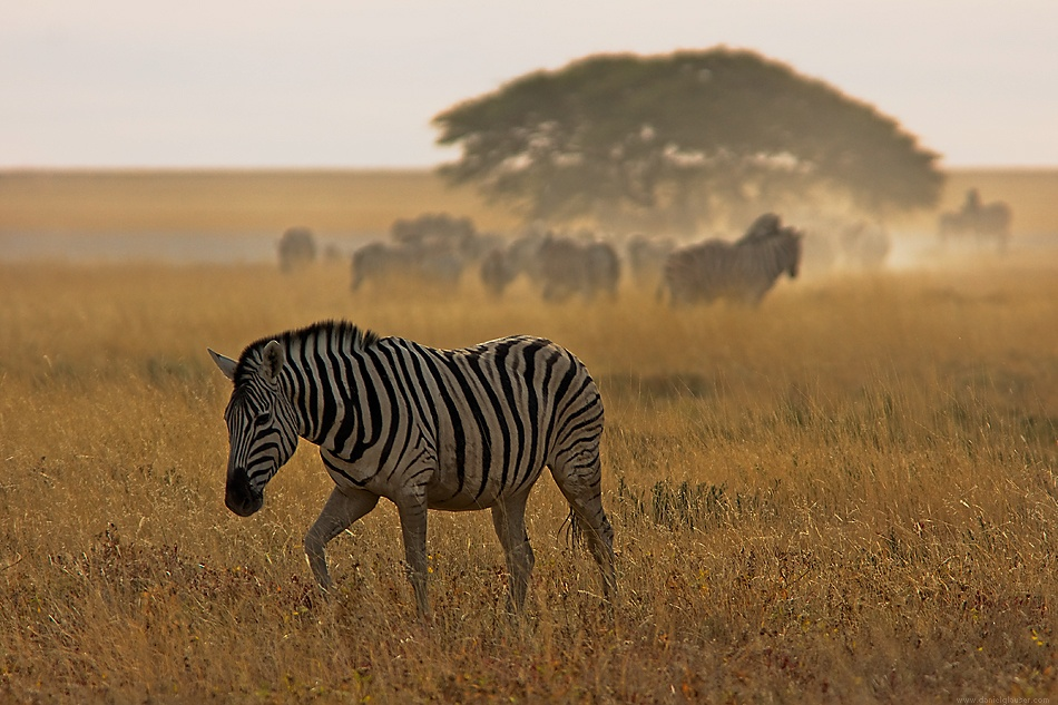 A piece of fine art art photography titled Zebras Are Leaving the Water Hole by Daniel Glauser