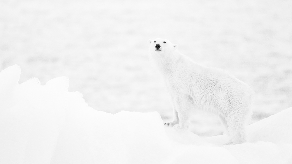 A piece of fine art art photography titled Polar Bear In B&w by Joan Gil Raga