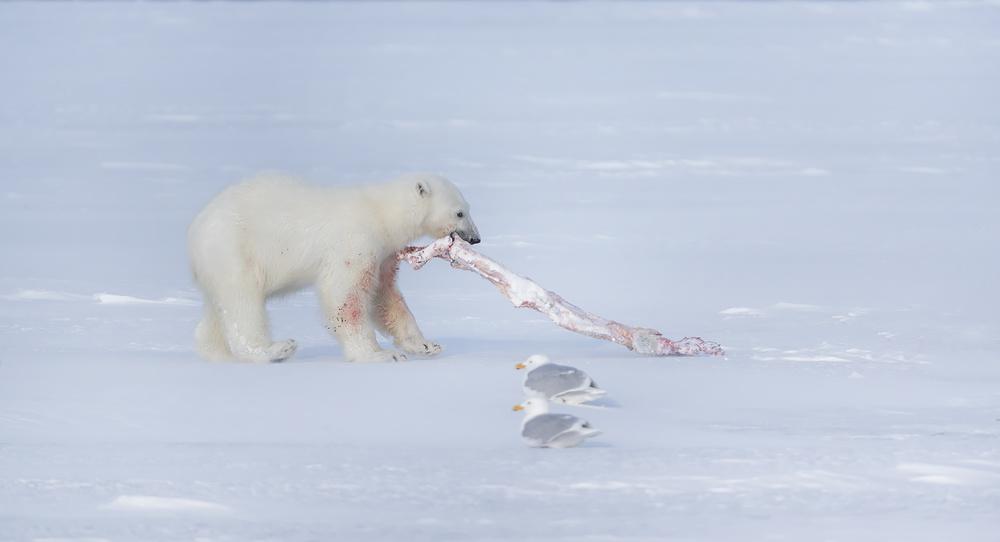baby Polarbear
