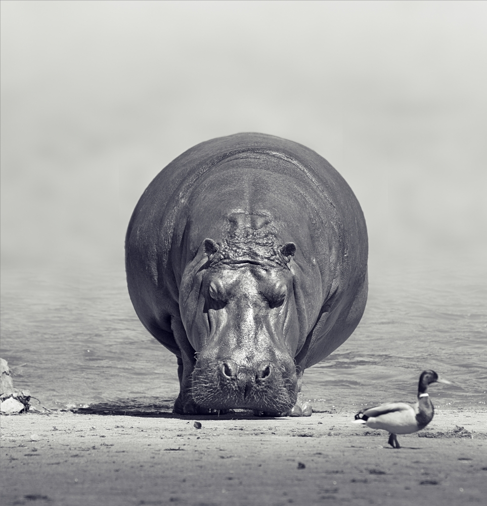 A piece of fine art art photography titled Hippo by Mikel Arrizabalaga